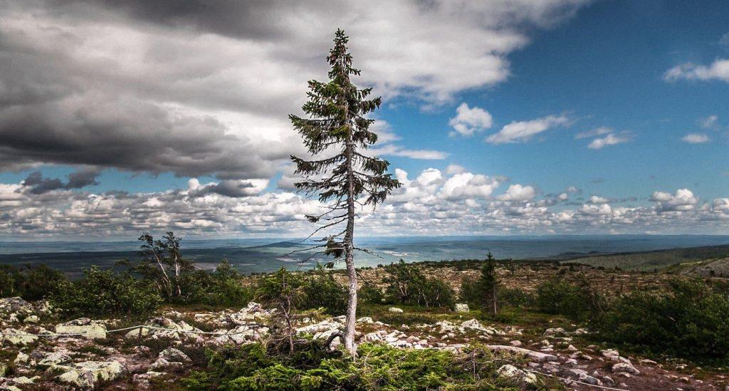 Gambar 1. Pohon Old Tjikko di Swedia.