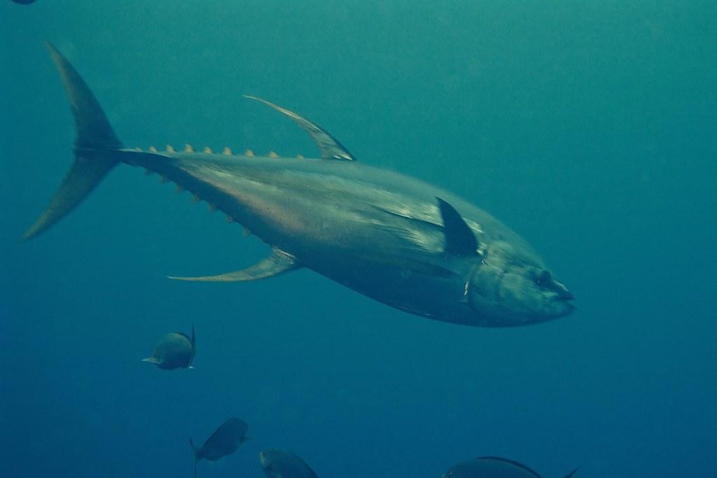 Gambar 1 Ikan Tuna Sirip Kuning, penangkapan berlebih