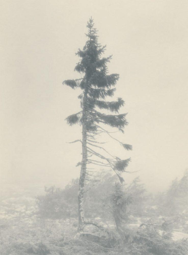 Gambar 2. Old Tjikko yang Diabadikan di Tahun 1965.
