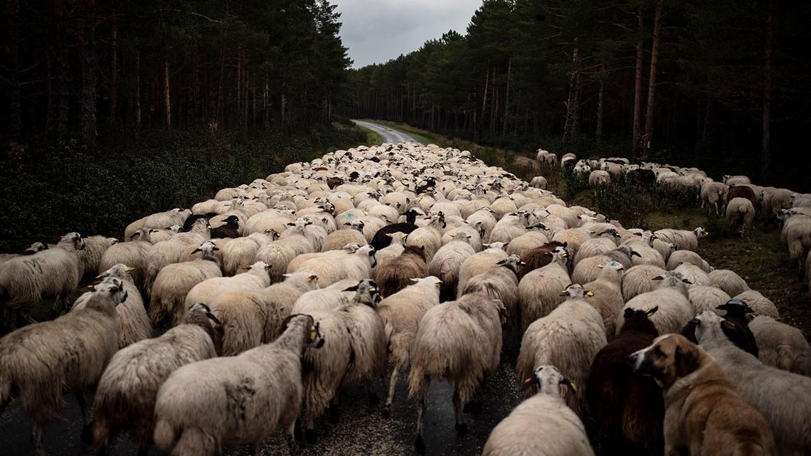 Gambar 5. Kawanan Domba Bergerak di Jalan Kosong Dekat Soria, Seiring Lockdown untuk Mengurangi Penyebaran Virus Corona di Spanyol.