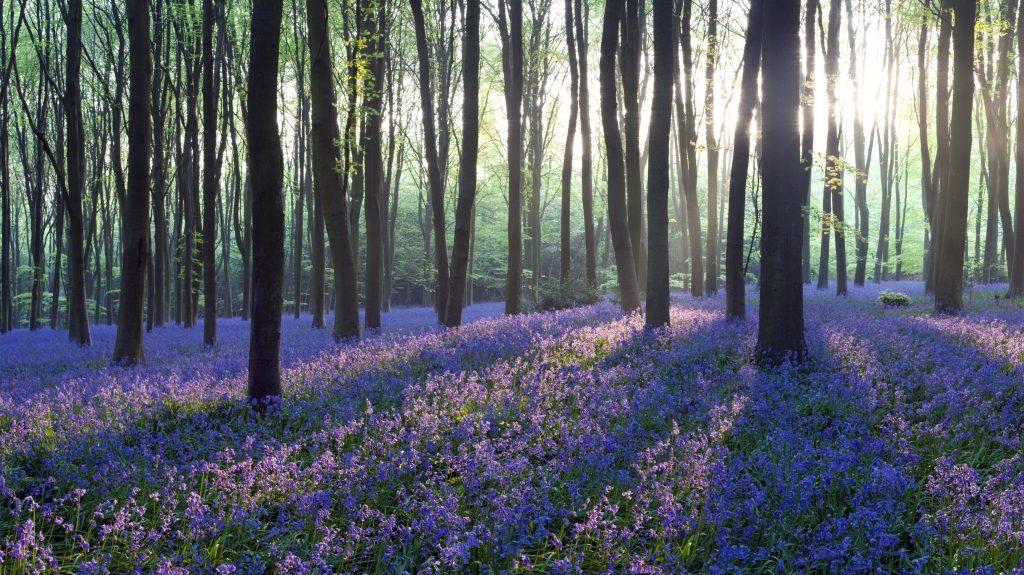 Gambar 1 Hamparan Karpet Bunga Bluebell di Hutan Hallerbos, Belgia