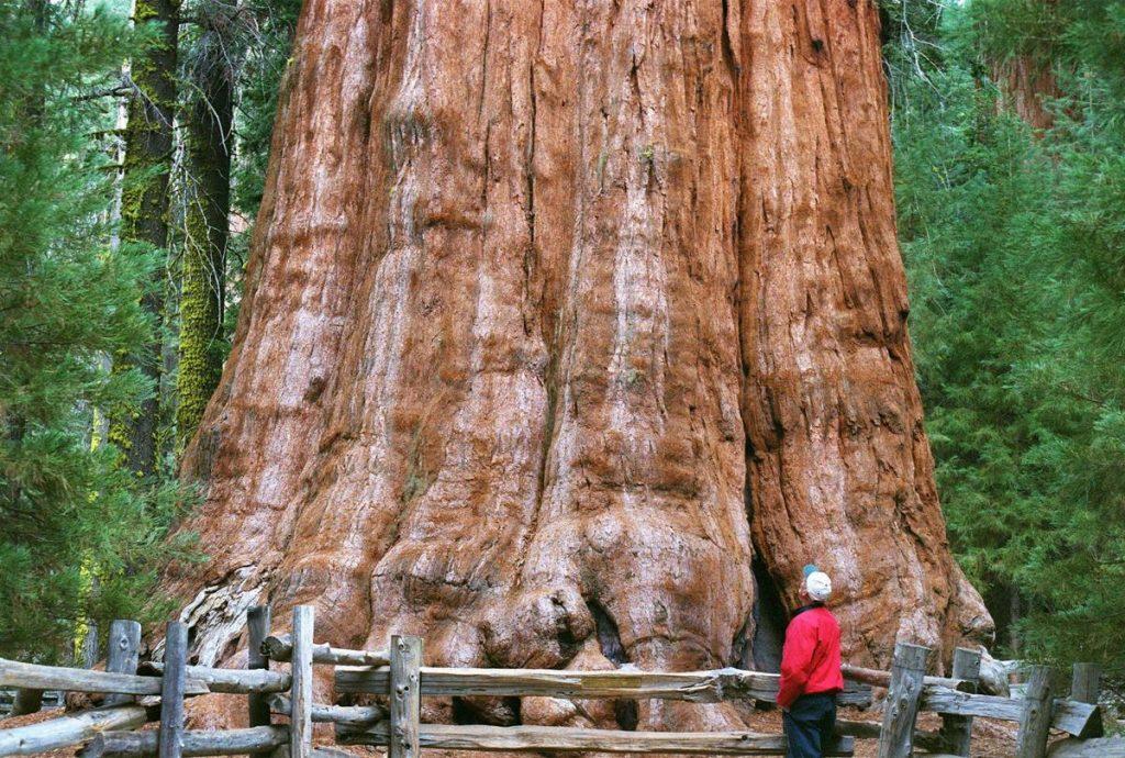 Gambar 1 Pohon General Sherman Tampak dari Bawah