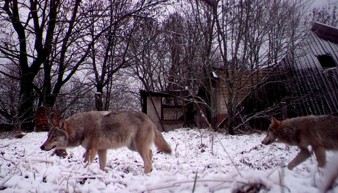 Gambar 7. Sekumpulan Serigala yang Hidup Bebas dan Populasinya yang Meningkat di Chernobyl yang Sudah Tak Berpenghuni Akibat Ledakan Nuklir 1986.