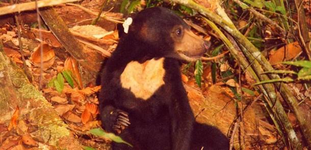 Beruang Madu: Pengertian, Habitat, Status Keberadaan