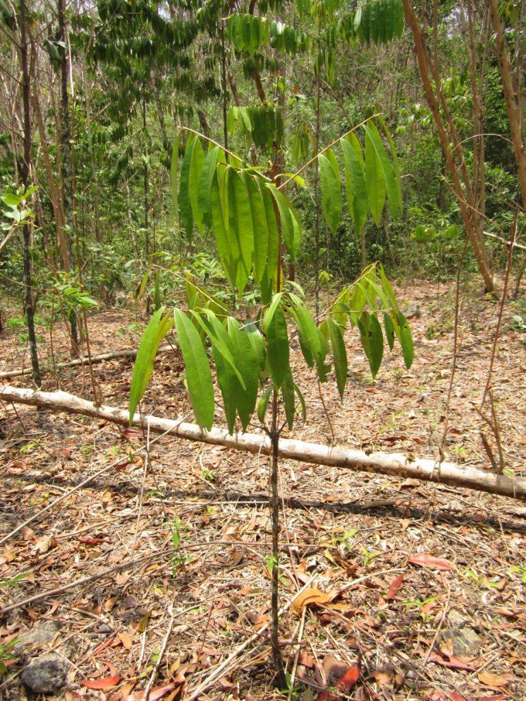 Gambar 2. Pohon Eboni Hitam muda