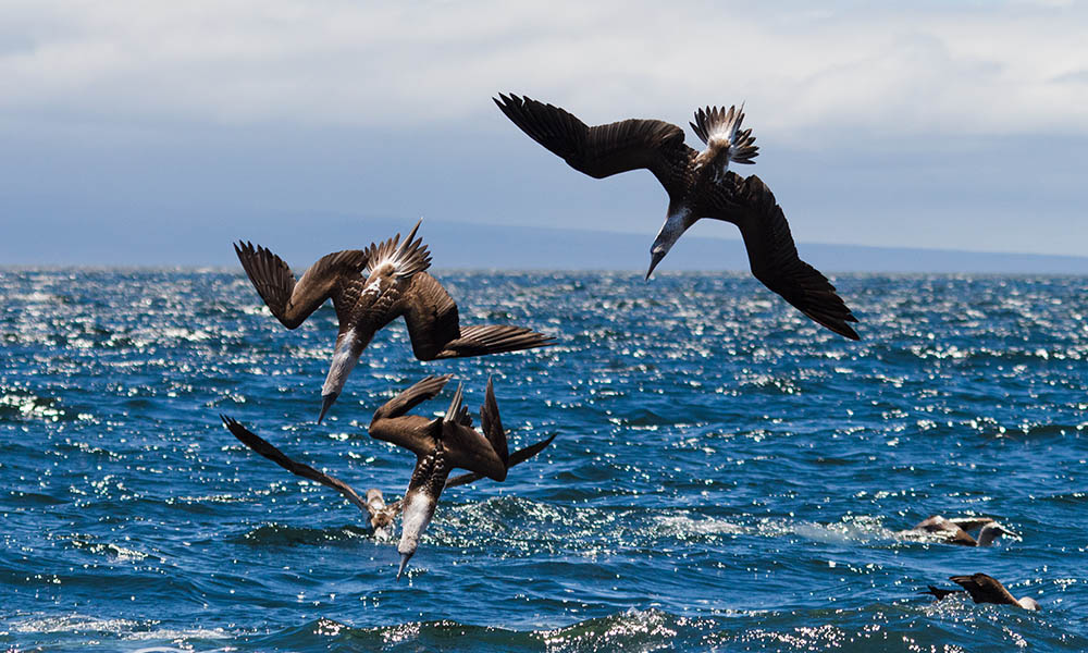 Gambar 3. Blue-Footed Booby Diving
