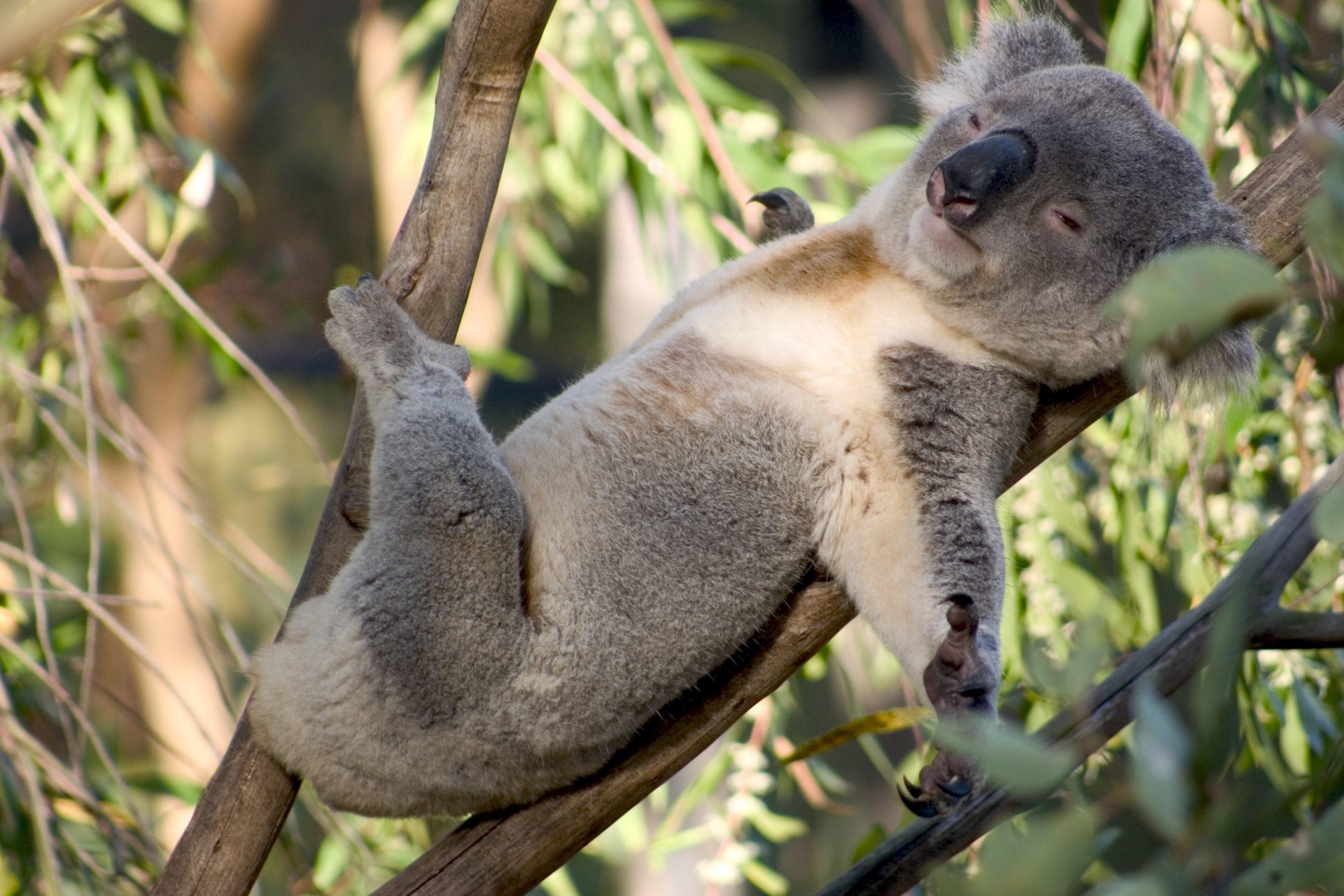 Gambar 5 Koala