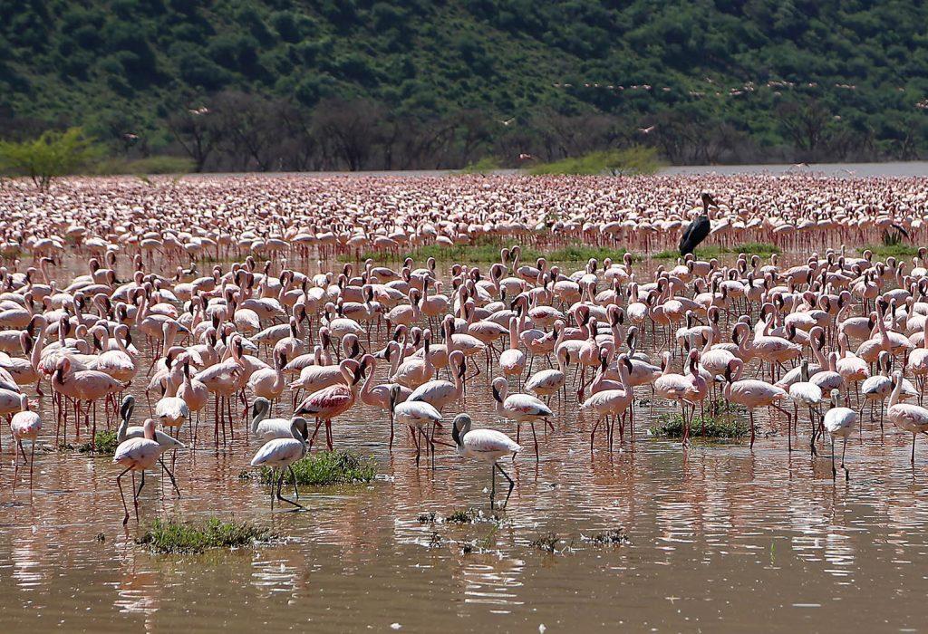 Gambar 2 Flamingo di Danau Bogoria