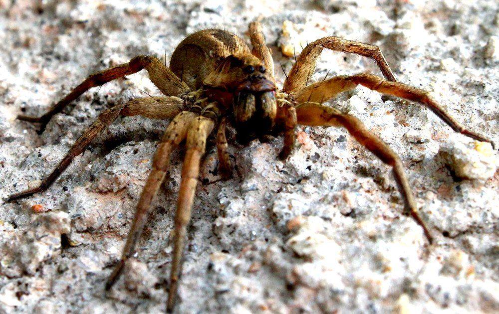 Gambar 3 Brazilian Wandering Spider