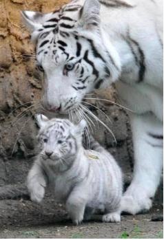 Gambar 2 Anak Harimau Putih