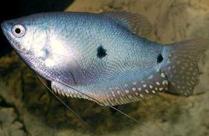 Gambar 3. Ikan Sepat Siam Betina