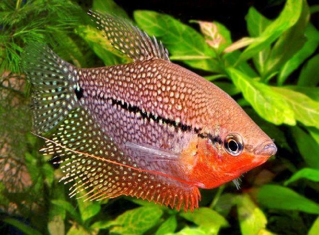 Gambar 2. Ikan Sepat Siam Jantan