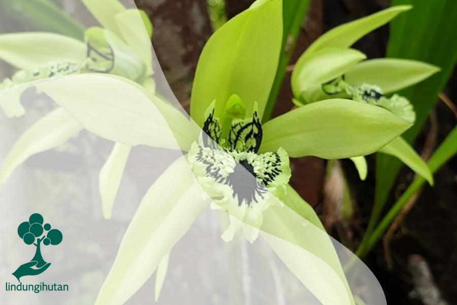 Ternyata Anggrek Hitam (Coelogyne pandurata) Berwarna Hijau