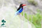 Burung Cekakak Jawa yang Hampir Punah