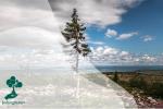 Pohon Old Tjikko, Pohon Tertua yang Nyaris Abadi