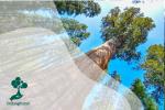 Mengenal General Sherman, Pohon Terbesar di Dunia