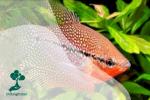 Belajar Cara Membedakan Ikan Jantan dan Ikan Betina