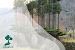 Daisugi, Teknik Unik Penanaman Pohon di Jepang