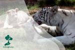Harimau Putih yang Terancam Punah