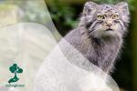 Mengenal Kucing Pallas