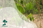 Eboni: Kayu Hitam Dari Sulawesi