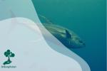 Penangkapan Berlebih Mengancam Ikan Tuna Kuning