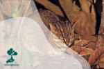 Prionailurus Rubiginosus: Spesies Kucing Terkecil di Dunia