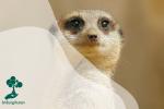 Meerkat, Hewan Menggemaskan di Gurun Afrika