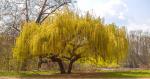 Pohon Dedalu Tangis: Pohon Besar dengan Sejarah Unik