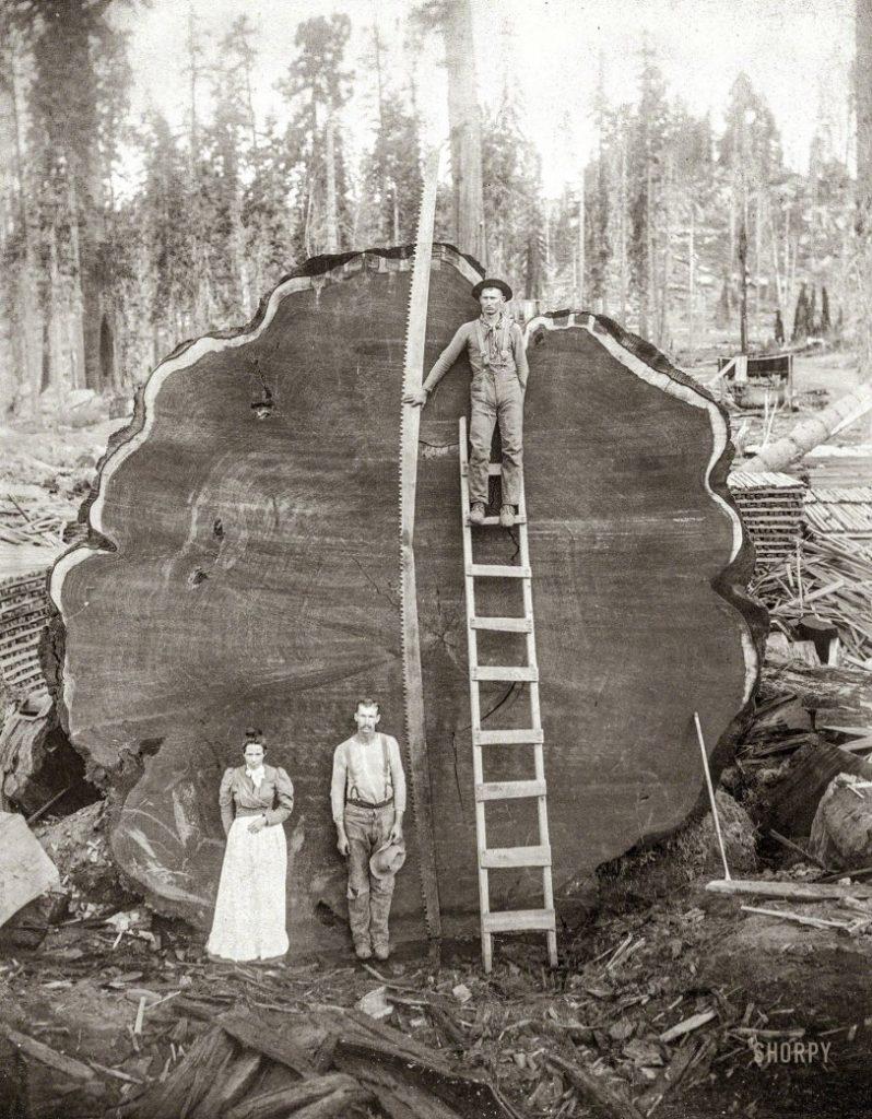 Gambar 4 Gelondongan Kayu anakan Pohon Redwood Mountain Grove di Taman Nasional Kings Canyon yang ditebang (1891) untuk di dipamerkan di Museum Sejarah Alam di New York.