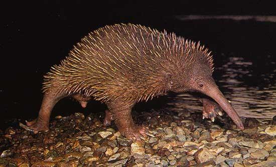 Gambar 2. Ekidna Moncong Panjang (Zaglossus attenboroughi)
