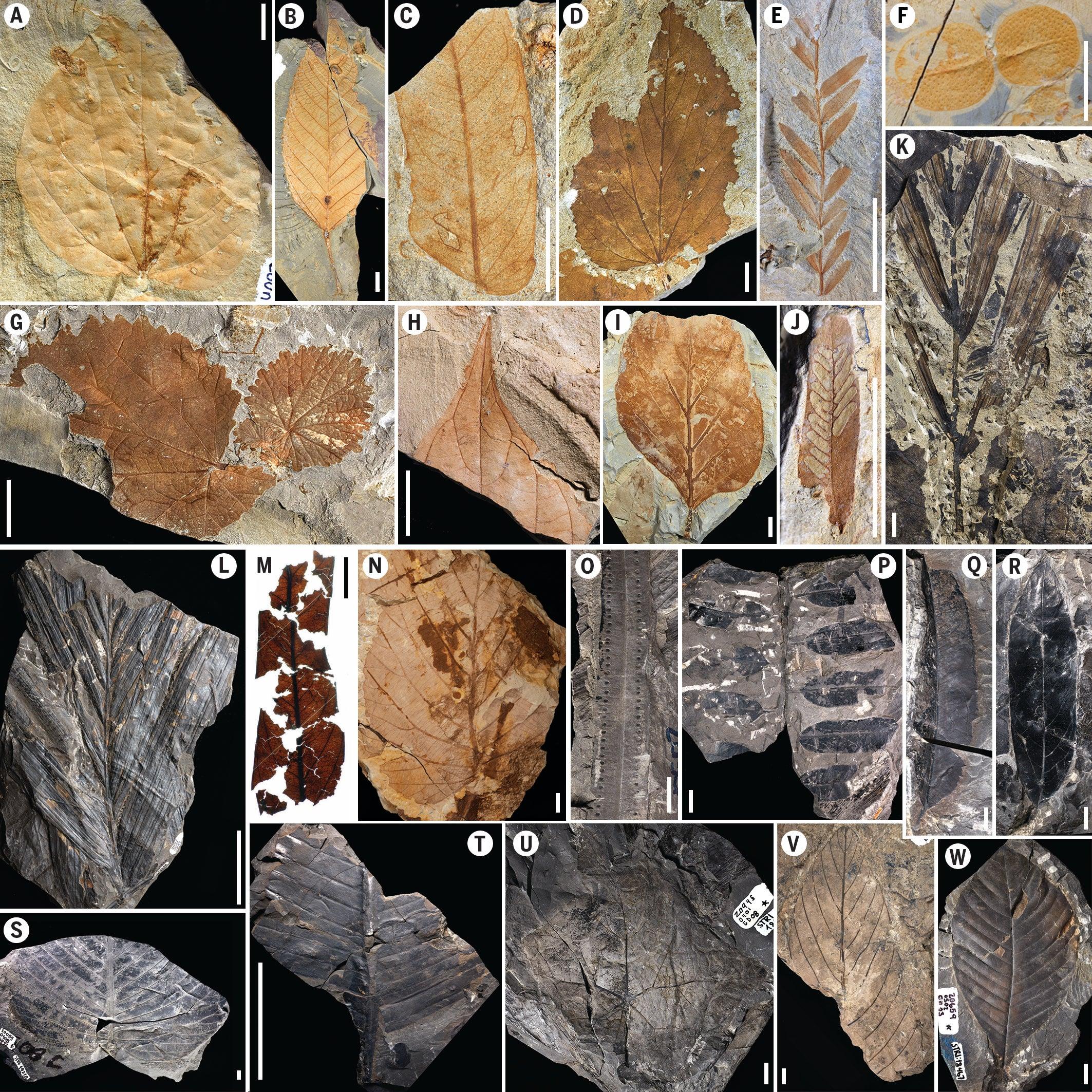 Gambar 1 Fosil Tumbuhan yang Tercetak di Batu