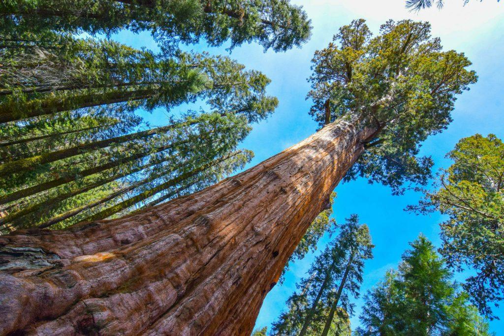 Gambar 3 Kemegahan Pohon General Sherman