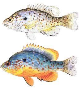 Gambar 4. Ikan orange-spotted sunfish (Lepomis humilis) Betina (Atas) dan Jantan (Bawah)