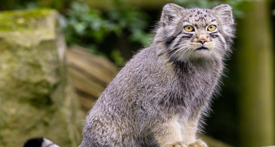 Gambar 1 Kucing Pallas