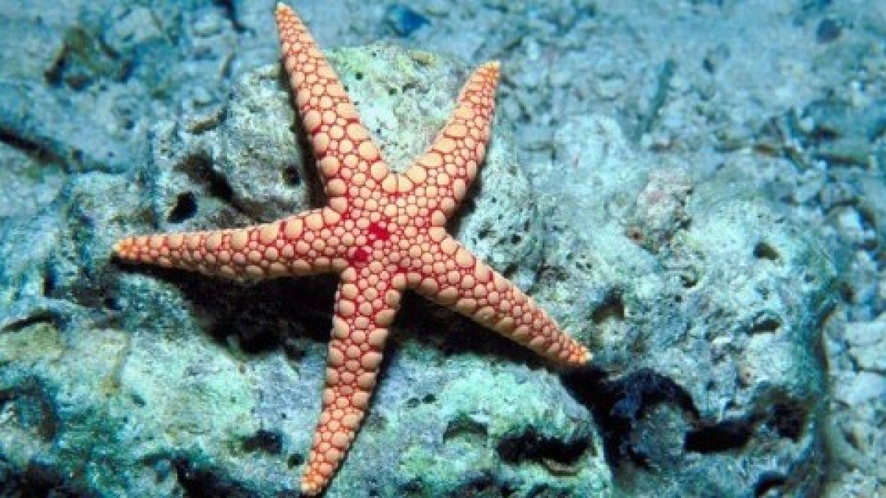 Gambar 2 Bintang Laut Hewan Terlamban