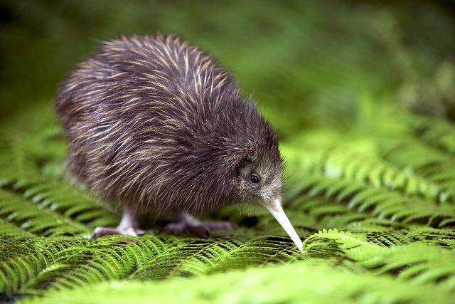 (gambar Kiwi)