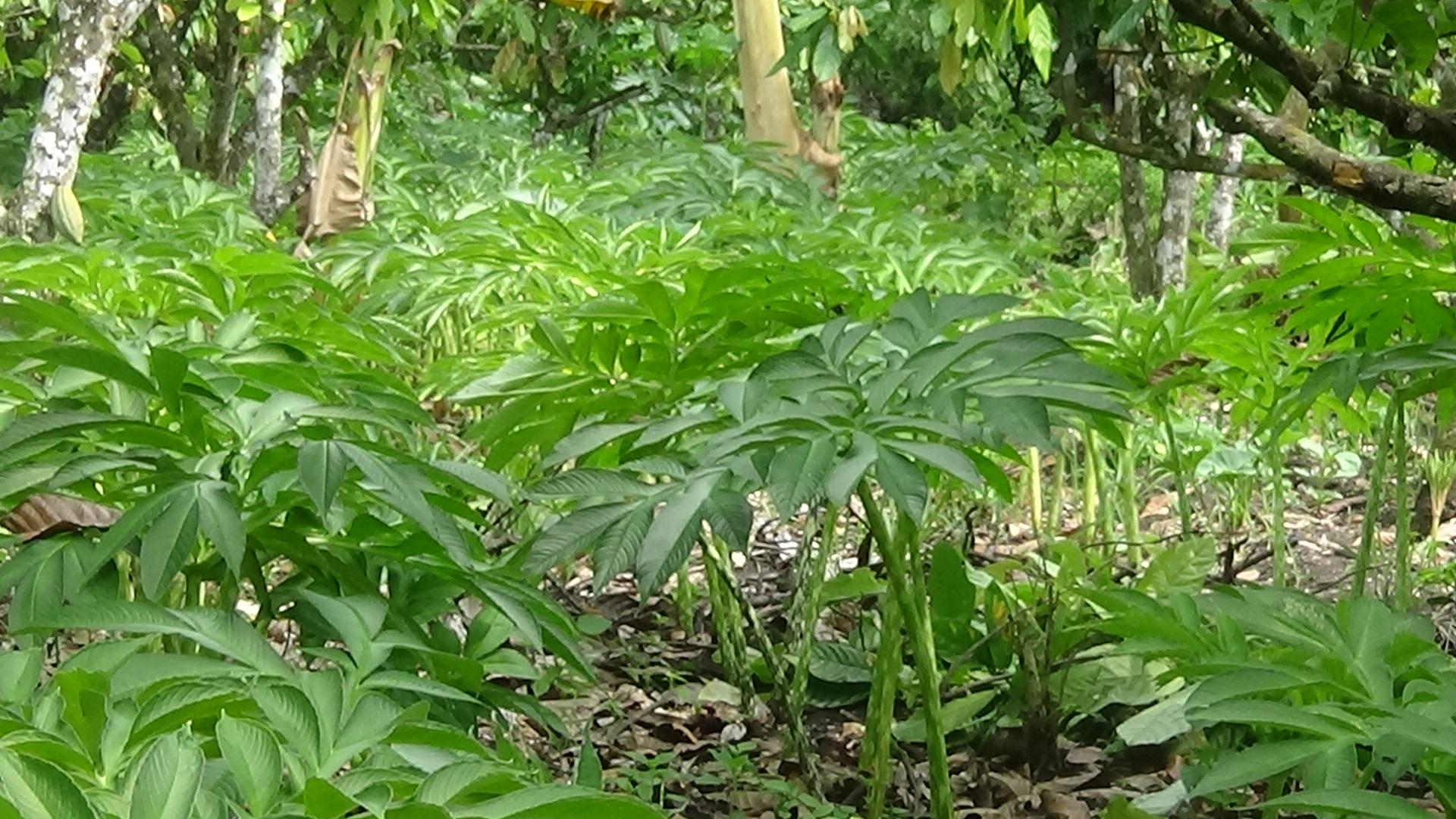 Gambar 3 Pohon Porang