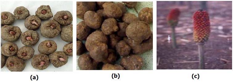 Gambar 4. (a) Umbi Porang; (b) Umbi Katak(Bulbil); (c) Bunga Porang