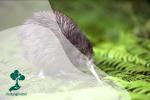 Burung Kiwi, Pemilik Paruh Panjang yang Tidak Bisa Terbang
