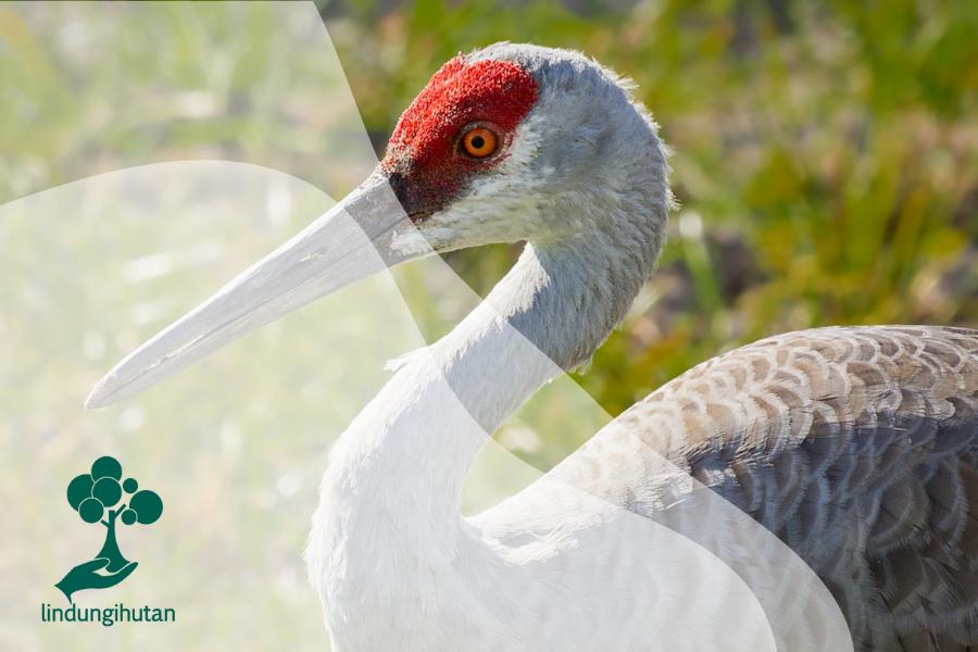 Sandhill Crane: Spesies Burung Tertua