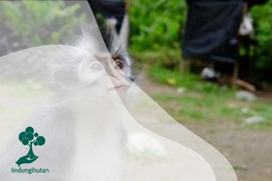 Kedih: Monyet Bermuka Sedih Asal Sumatera