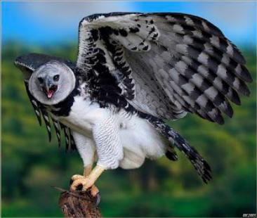 Gambar 2. Burung Harpy