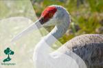Bangau Pasir: Fakta Burung yang Gemar Menari