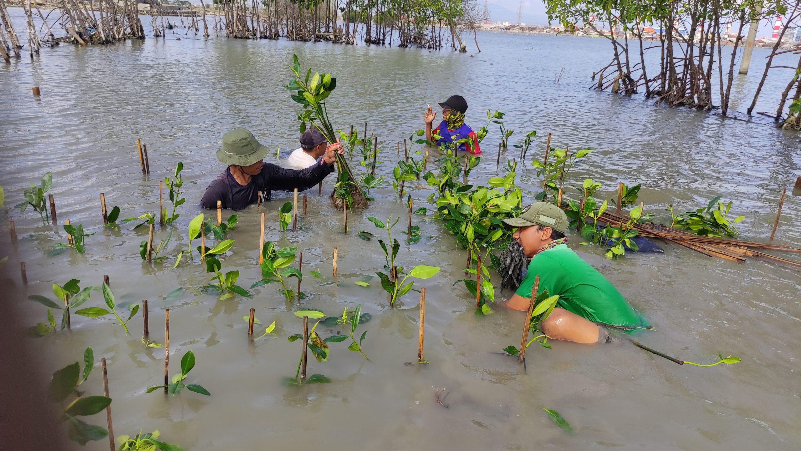 Proses Penanaman Bibit Mangrove bersama CAMAR© Dokumentasi LindungiHutan