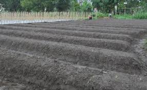 gambar 2 galengan lahan nanas