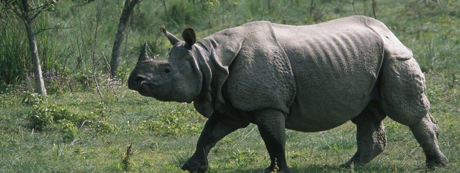 Terancam Punah! 5 Spesies Badak yang Masih Eksis di Dunia