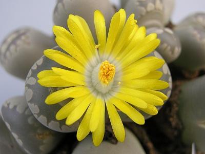 Bunga Lithops