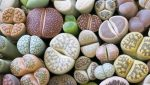 """Lithops the """"Living Stones"""""""