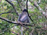 Surili, Primata Endemik yang Terancam Punah